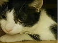 寵物遺失,請協助找尋我的寶貝---米克斯貓