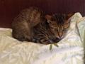 寵物遺失,請協助找尋我的寶貝---米克斯-虎斑