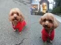寵物遺失,請協助找尋我的寶貝---紅貴賓